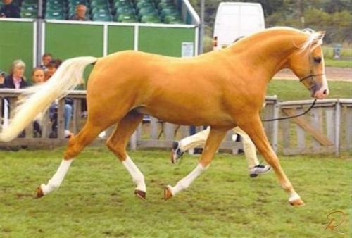 1008210-palomino-shulay-gold-feveravlshingst